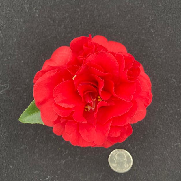 Little Red Ridinghood Sm 1660.jpg