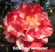 Edna%20Bass%20Variegated_edited
