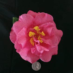 Betty Sheffield Pink Med 1937.jpg