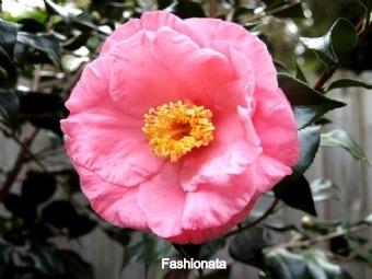 fashionata_edited