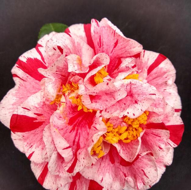 Mabel Bryan Strawberry L 1430.jpg