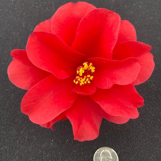 Red Hots Sm 1540.jpg