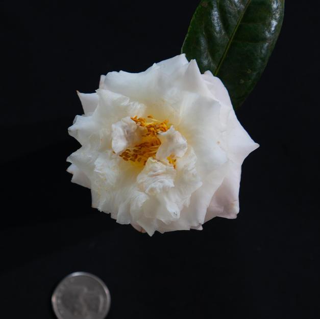 Senritsu Ko Sm 1609.jpg