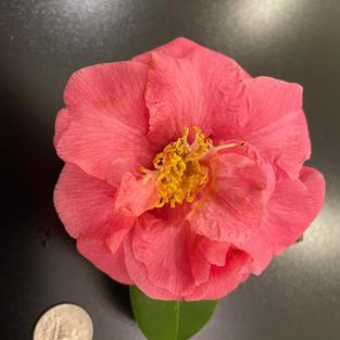 Aitonia (Magnolia) Med 1390.jpg