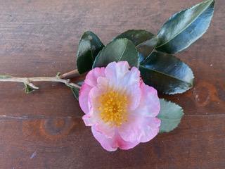 Apple Blossom Chesher