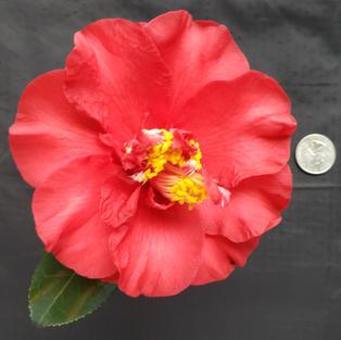 Cherries Jubilee Med 1753.jpg