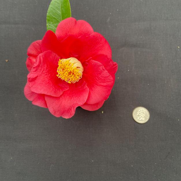 Monjisu Red Med 1617.jpeg