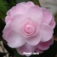 Sweet%20Jane_edited