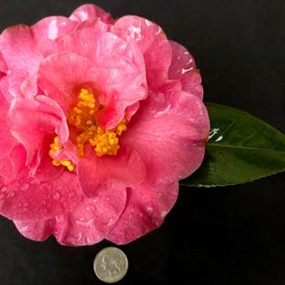 Carters Sunburst Pink var L 1195.jpg