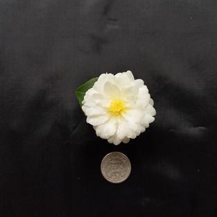 Buttermint  Mini 1442.jpg