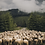 Thumbnail: Wypas owiec w Tatrach