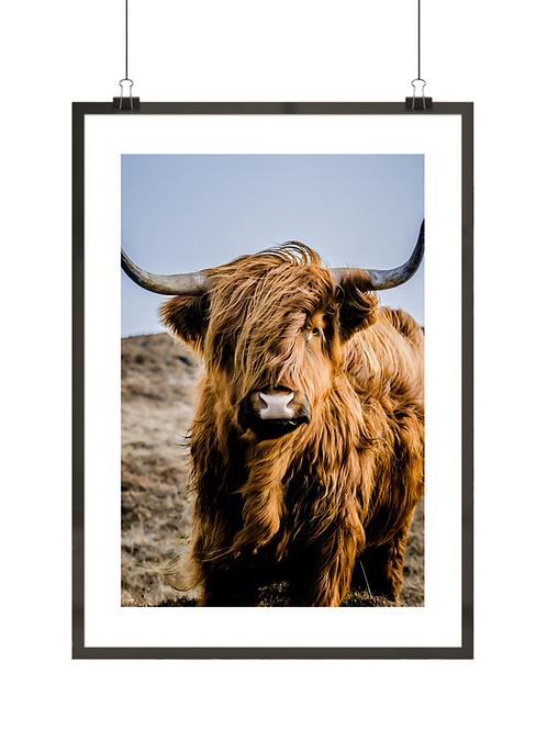Krowa szkocka