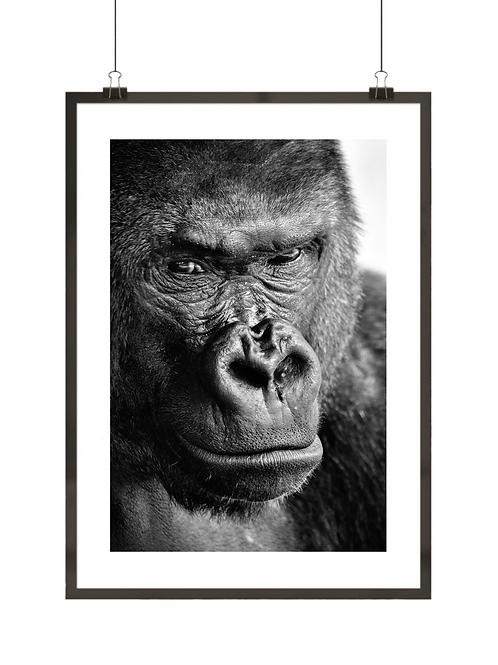 Czarno-biały goryl