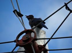 Steller's Jay fledgling