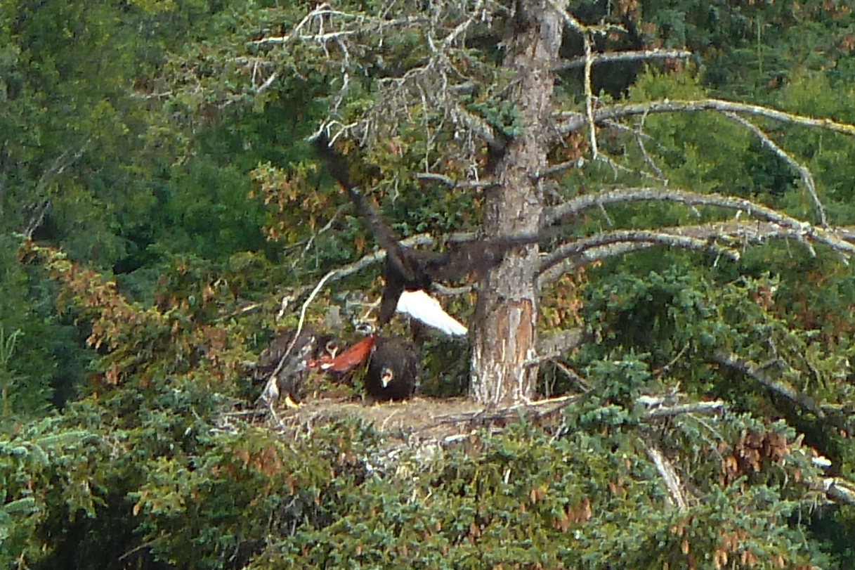 Eaglet Feeding Time