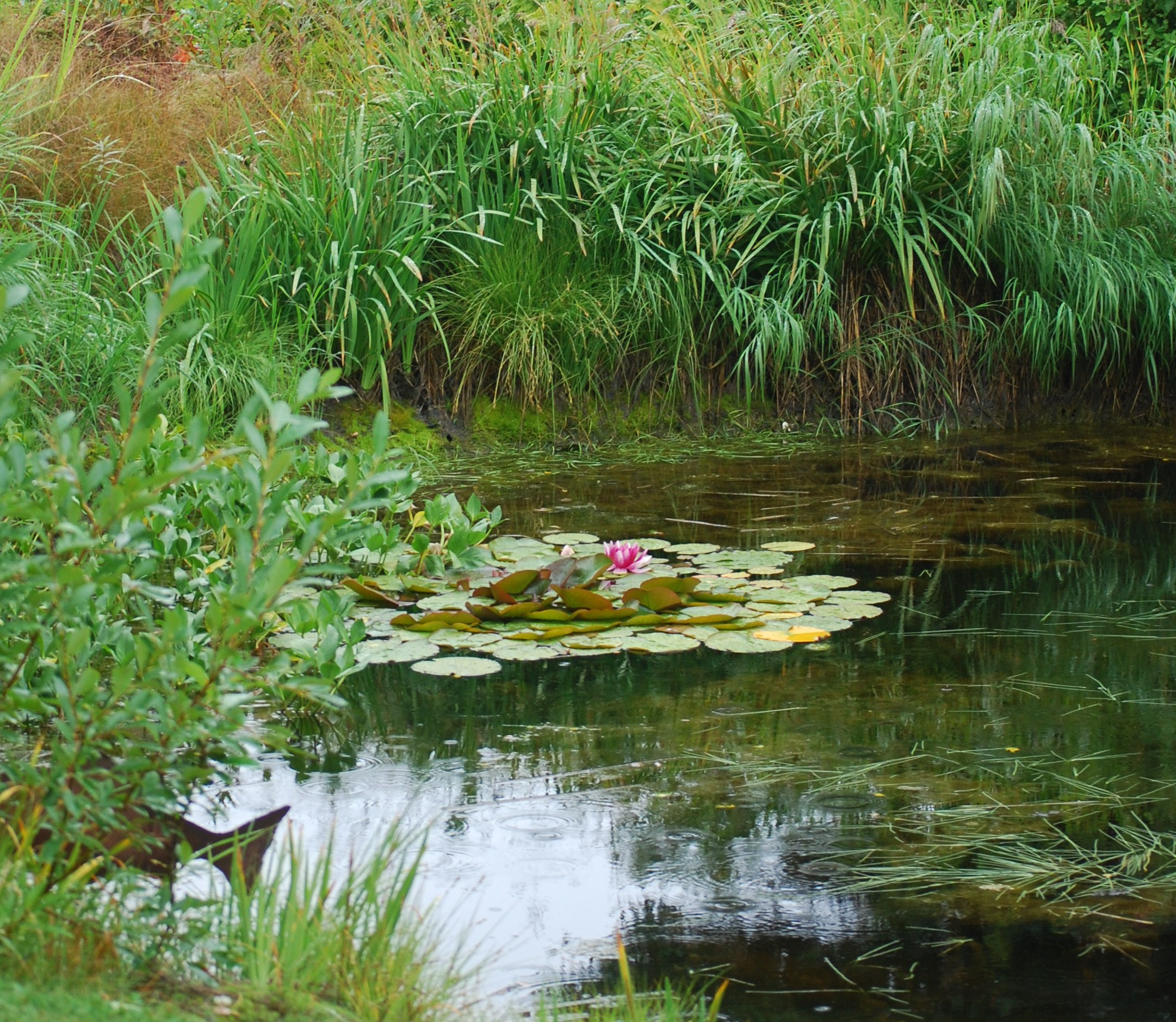Asian Lilies in the Pond