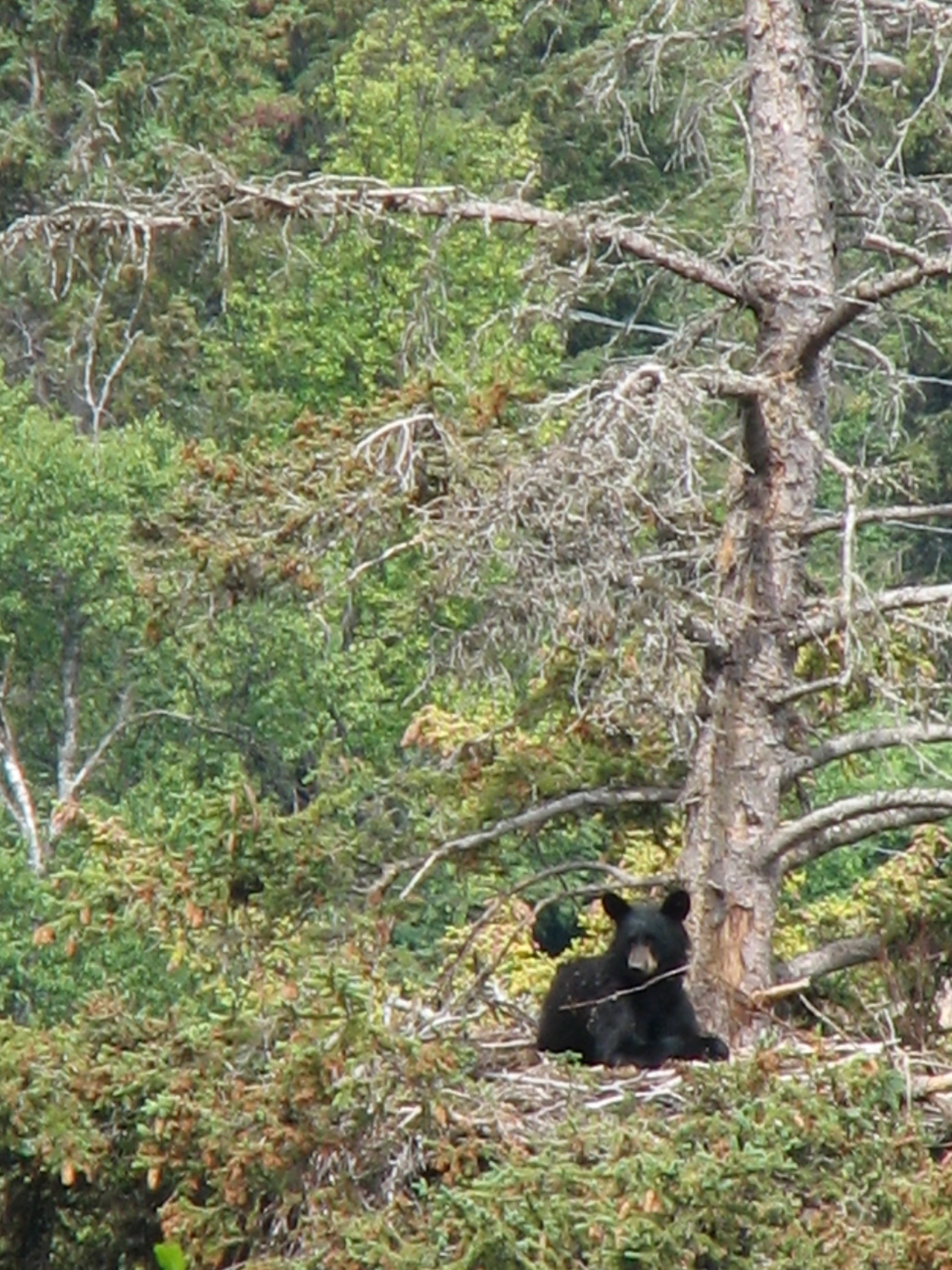 Black Bear in the Eagle Nest