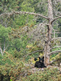 Black Bear in the Eagle Nest