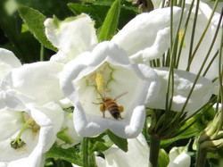 One of Clem's Honey Bees