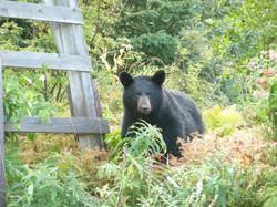 Black Bear Under the Windmill