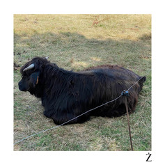 Vache du Shetland - Lenoncourt