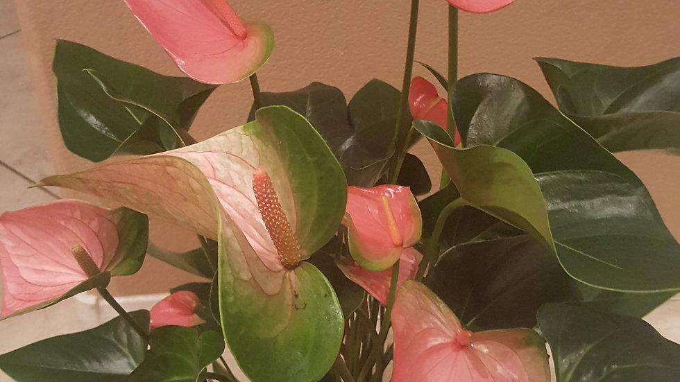 Pink/Green Anthurium Plant