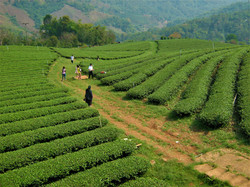 Tea leaf plantation