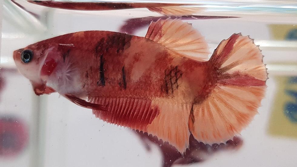 Nemo Candy HMPK Betta Female (060128)