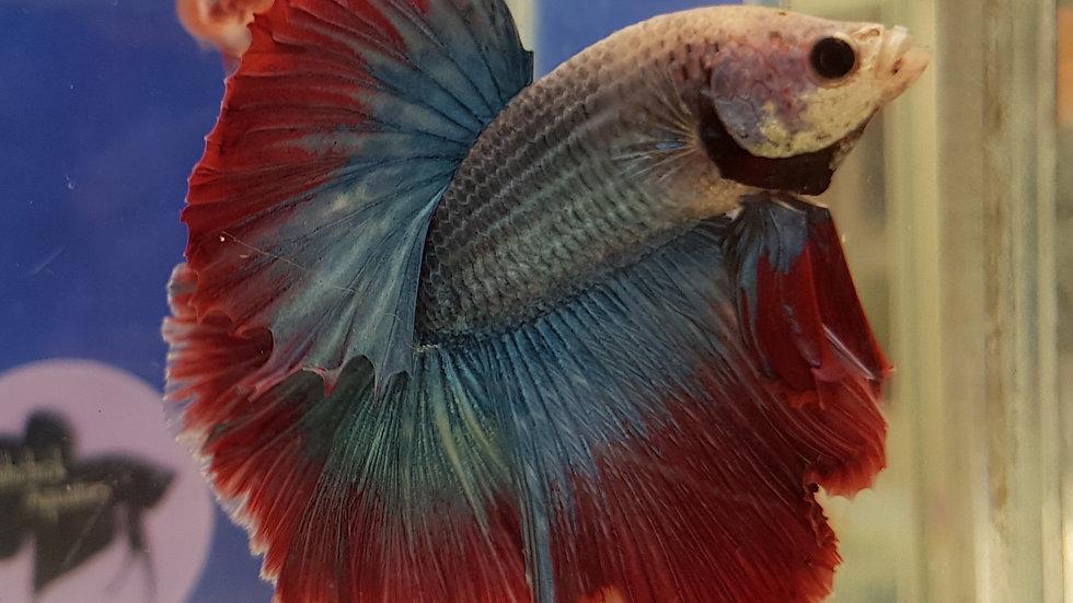 Scarlet Grizzle HM Male (030420)
