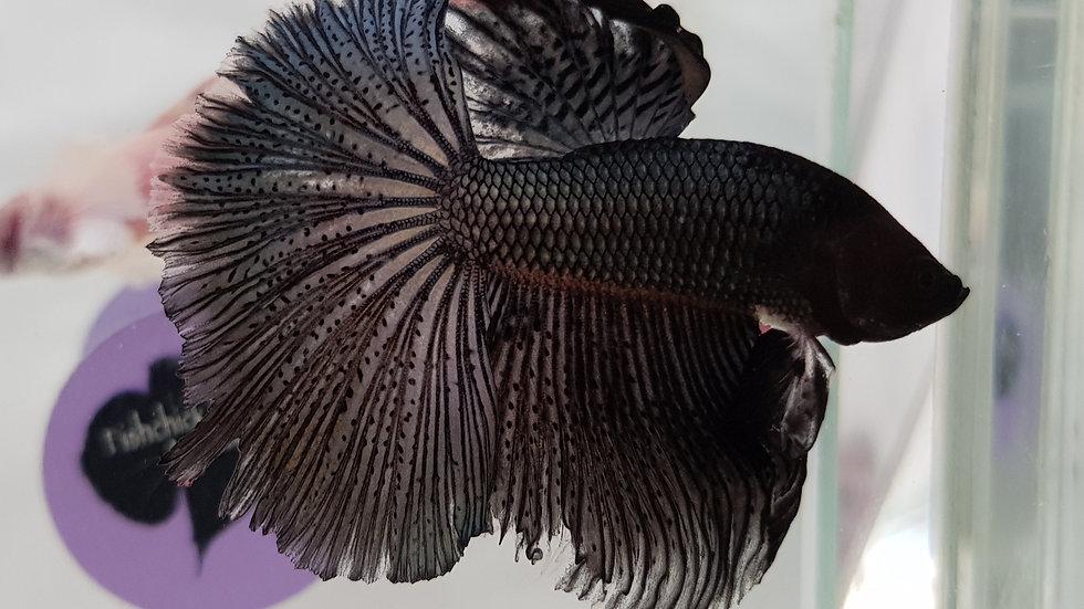 Copper Black Halfmoon Male (030124)