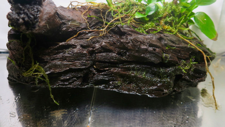 Anubias Nana Medium Driftwood (090206)
