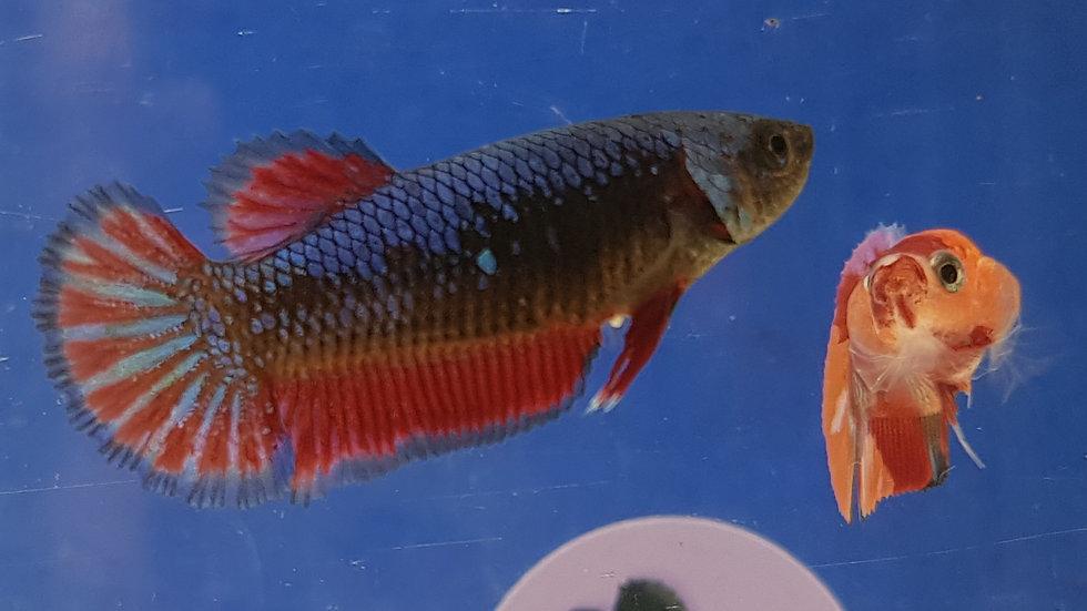 Blue Red Mosaic Female (030224)