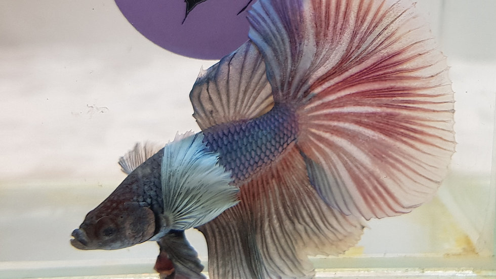 """Purple Pearl"" Dumbo Halfmoon Betta Male (050305)"