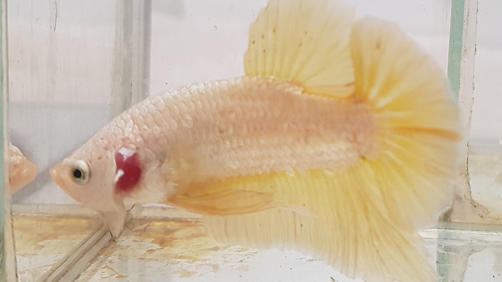 Yellow Dragon HMPK Male (080109)