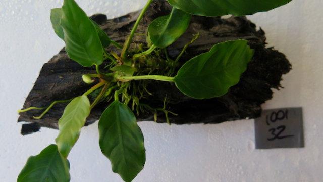Anubias On Small Malaysian Driftwood (100132)