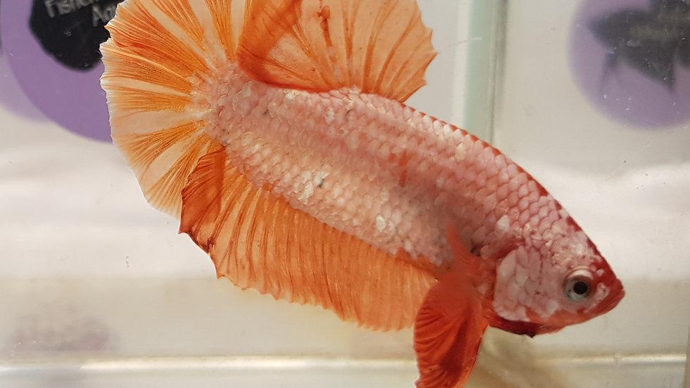 Orange Dragon Over-HMPK Betta Male (040106b)