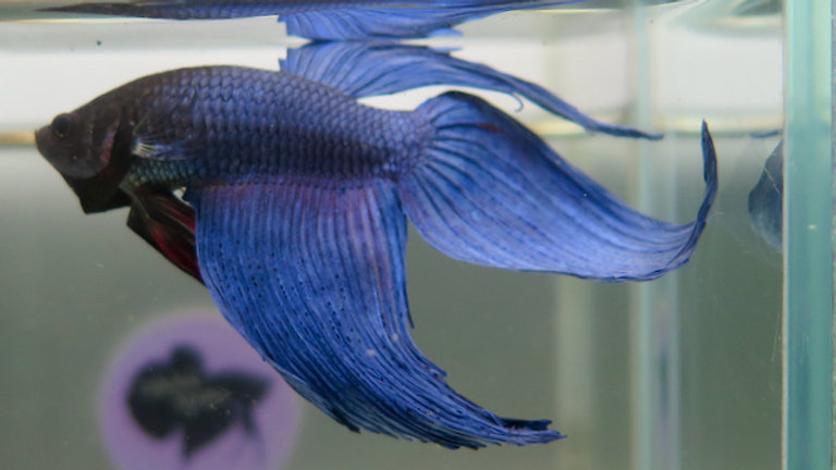 Blueman Veiltail Betta Male (090217)