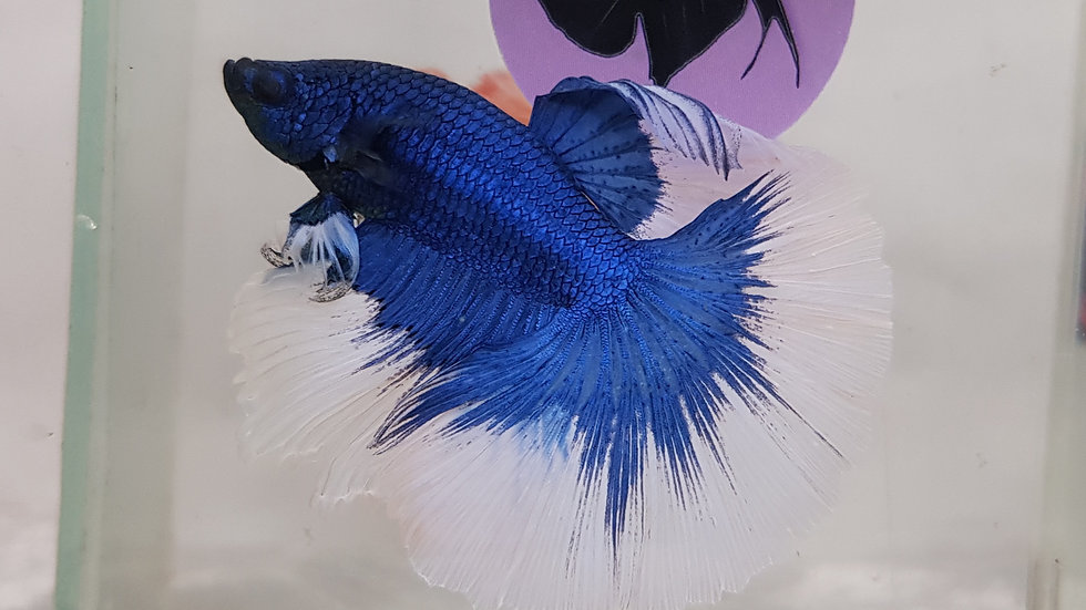 Blue Mask Butterfly HM Male (020435)