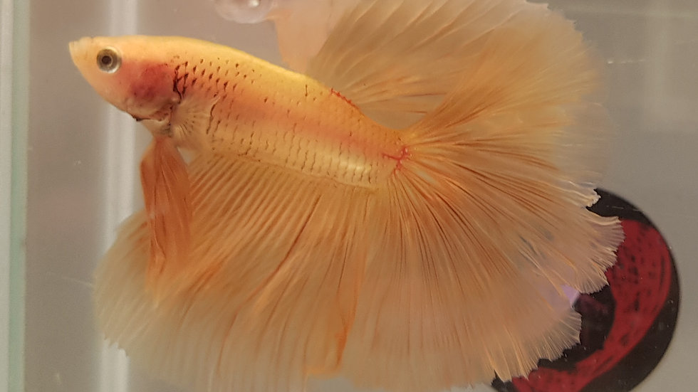 """Honey Sun"" Yellow Halfmoon Betta Male (120132)"