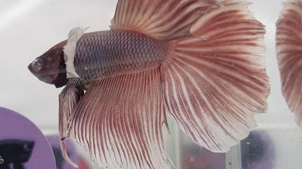 Pet - Dumbo Delta Male (040330)