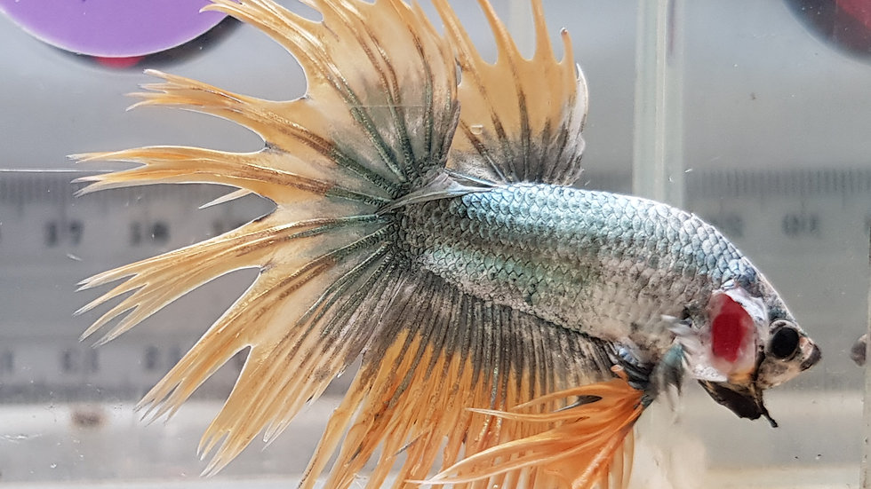 """""""Pewter Sun"""" Crowntail Betta Male (212115)"""
