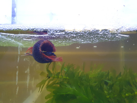 Setting Up a Breeding Tank for Betta splendens