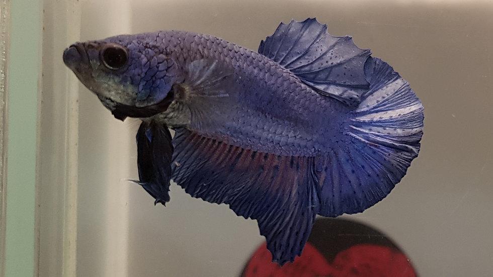 Blue Masked HMPK Betta Male (020303)