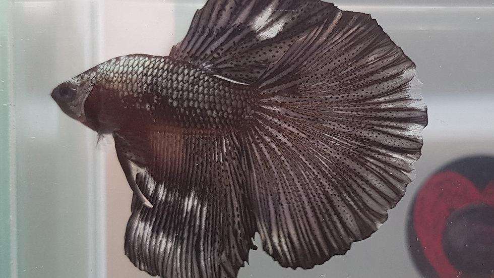 Copper Black Marble HM/SD Male (010103)