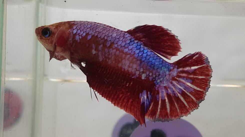 Fancy Dragon HMPK Female Betta (040202)
