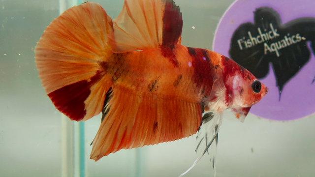 Nemo Candy Plakad Betta Male (090226)