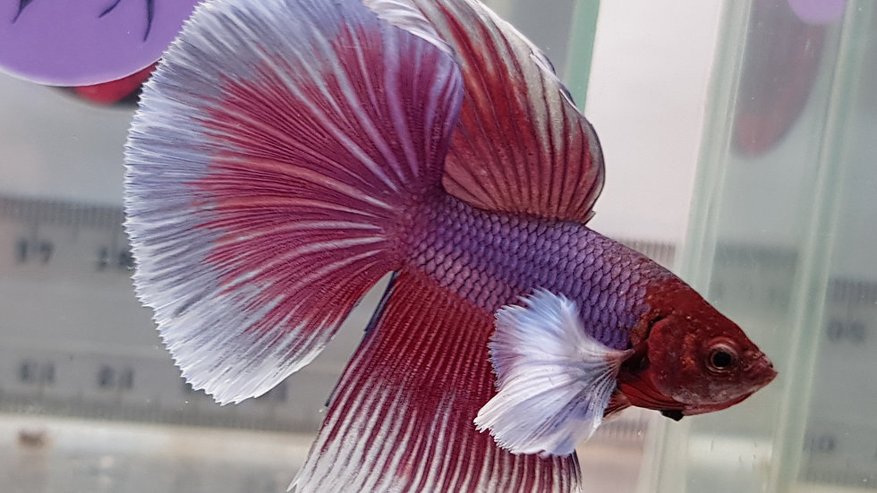 Lavender Dumbo S/D Betta Male (212116)