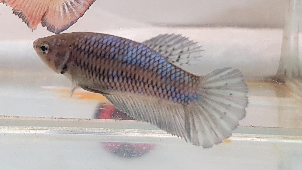 Blue HMPK Betta Female (040210)