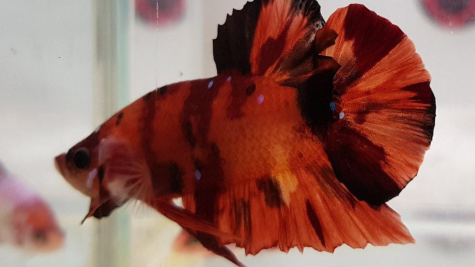 Tiger Candy HMPK Betta Male (050308)
