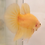 "Thumbnail: ""Yellow Chiffon"" HMPK Sibling Betta Pair (100310)"